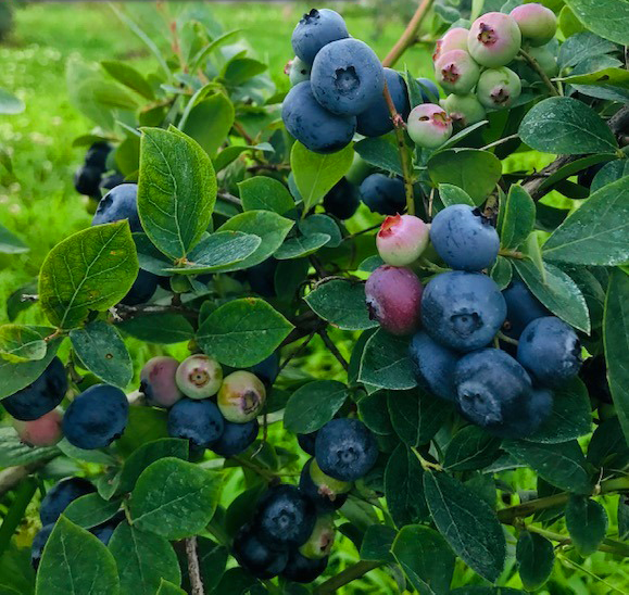 Benson Blueberries